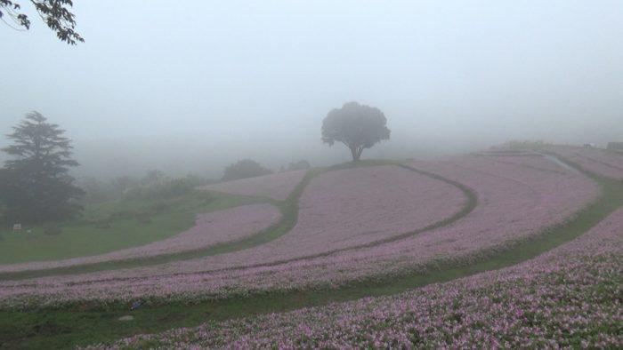 マザー牧場 花の谷の桃色吐息