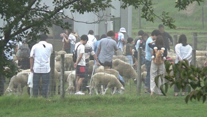 マザー牧場 羊のふれあいエリア