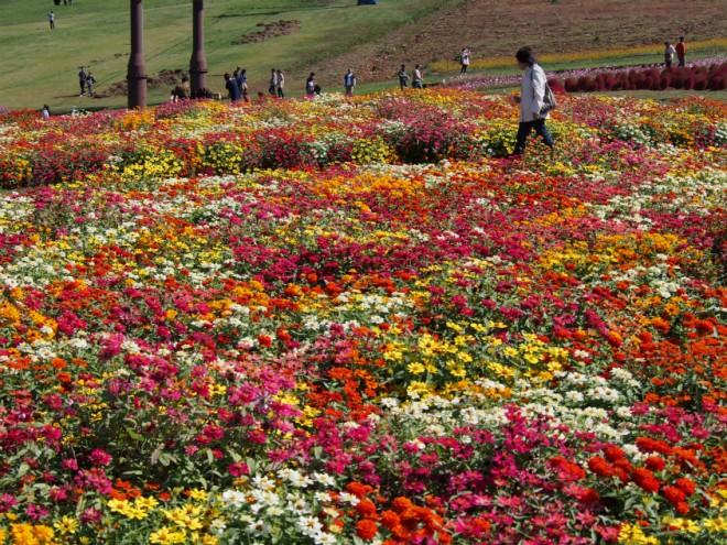 コキアパークカラフルな花