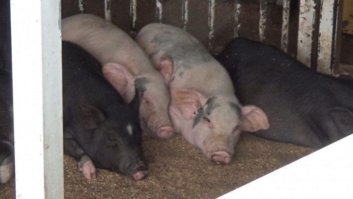マザー牧場 大きい豚